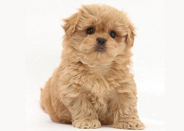 Chó Phốc sóc lai Poodle