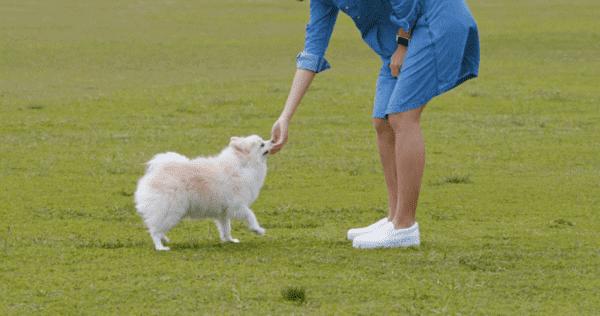 Nên huấn luyện chó Phốc sóc như thế nào?