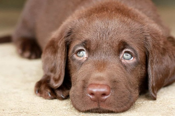 Kinh nghiệm nuôi chó Labrador