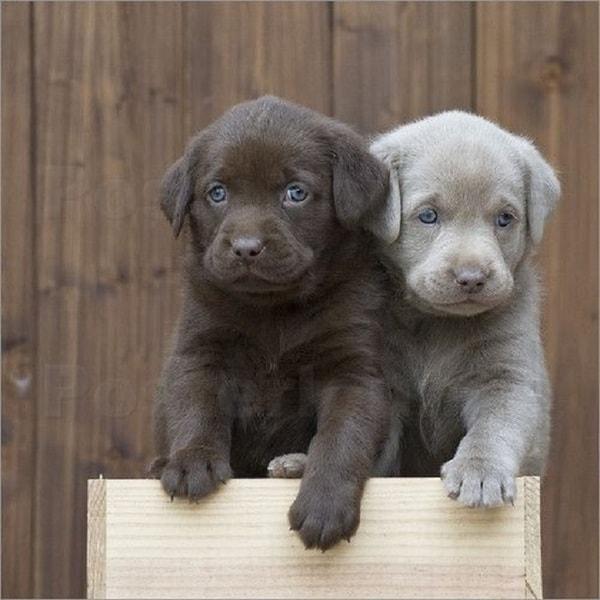 Những lý do bạn nên chọn nuôi chó Labrador