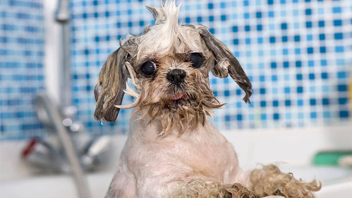 Cách tắm cho chó
