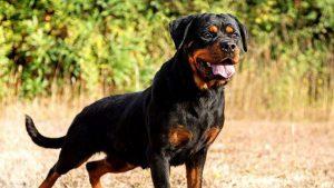 Hướng Dẫn Cách Nuôi Chó Rottweiler con và giai đoạn sinh sản