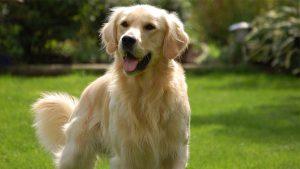 Thức ăn cho chó Golden