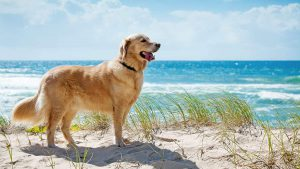 Chó Golden lai