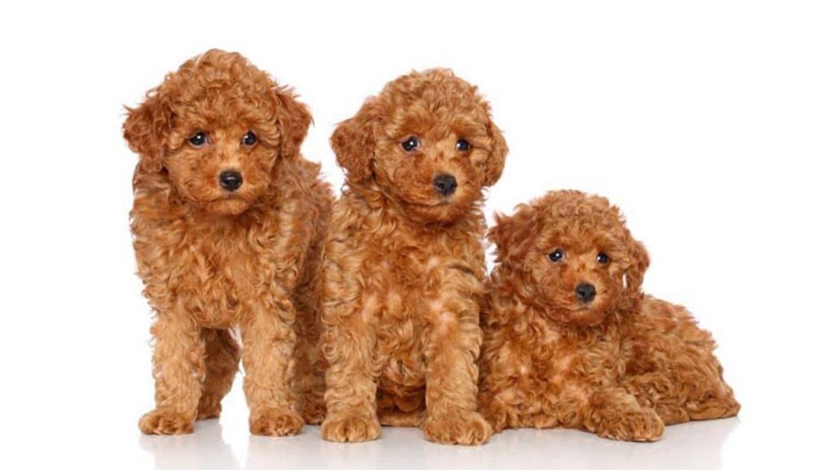 Bệnh thường gặp ở chó Poodle