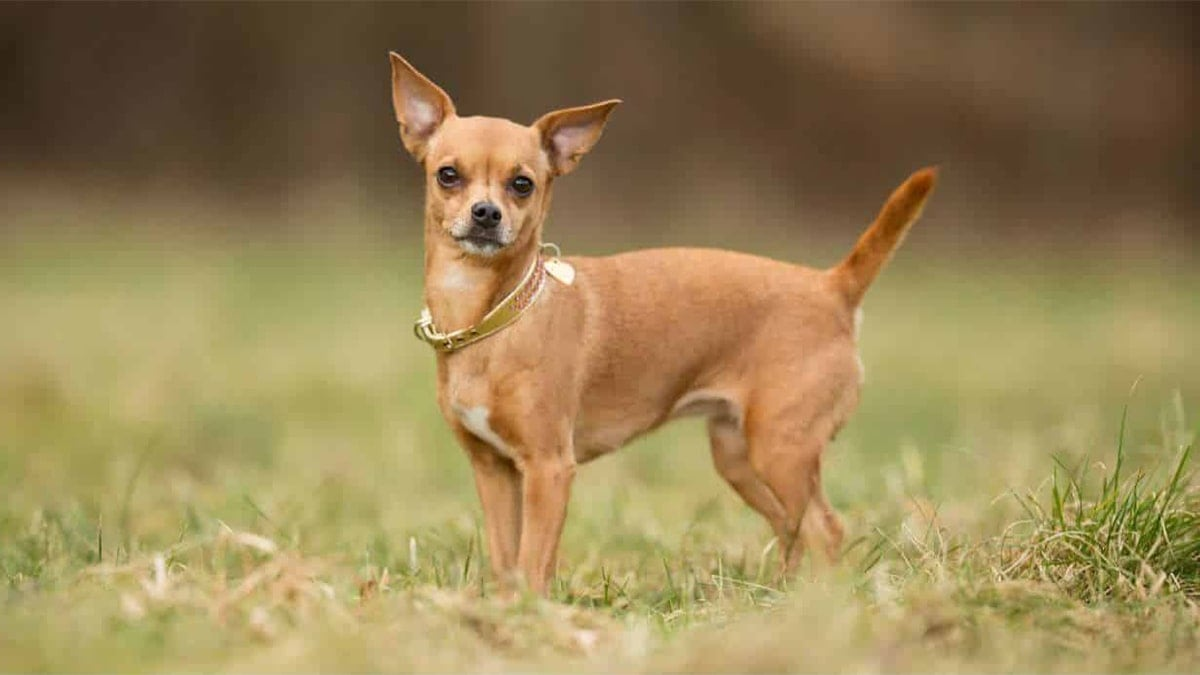 bệnh thường gặp ở chó Chihuahua