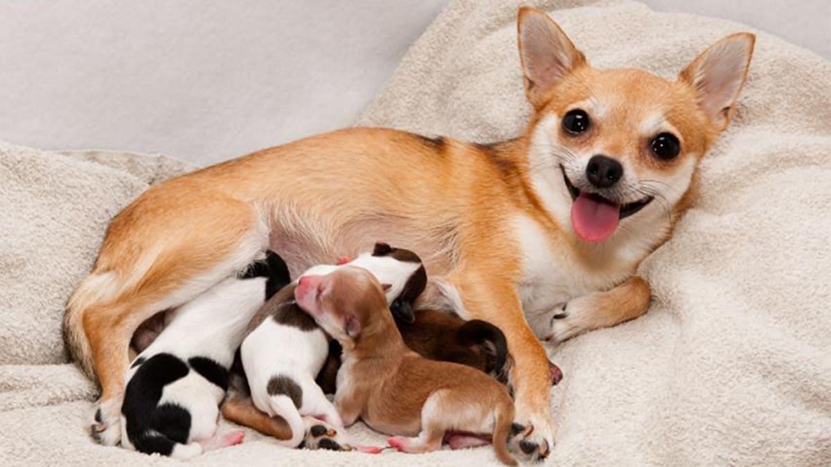 những lưu ý khi chó mang thai