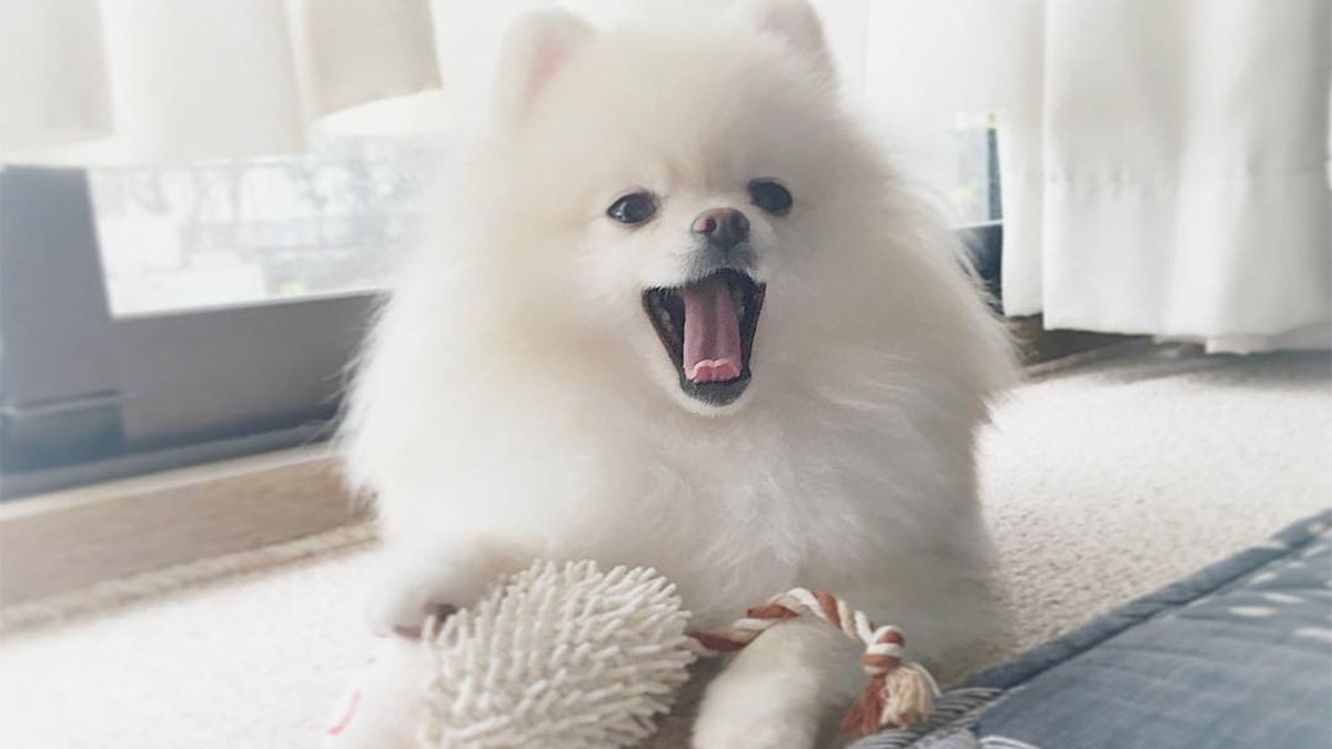 Cách nuôi chó Phốc sóc