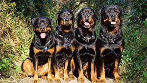 cách chọn chó Rottweiler thuần chủng