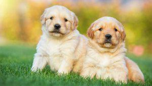 Gía chó Golden