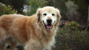 bệnh ở chó Golden