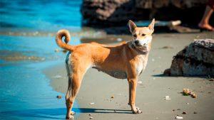 cách huấn luyện chó Phú Quốc