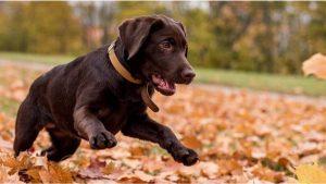 bán chó Labrador