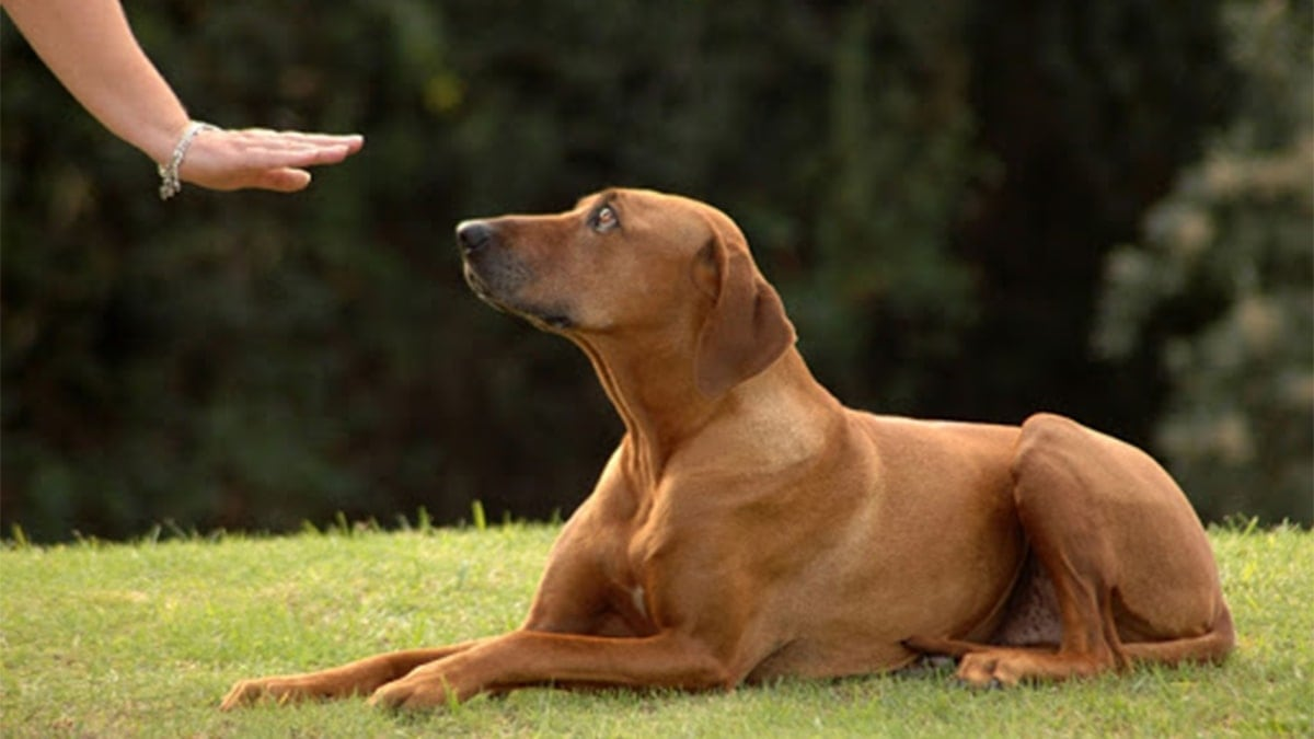 cách chọn chó Phú Quốc thuần chủng