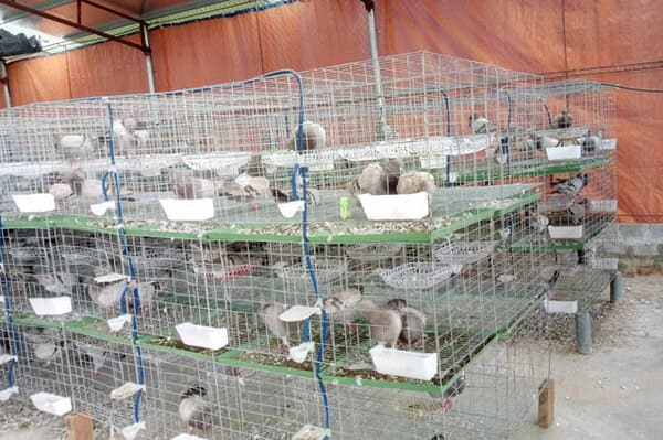 Thiết kế chuồng nuôi chim bồ câu Pháp