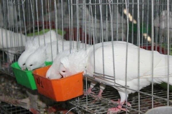 Cách cho ăn và chế độ dinh dưỡng của chim bồ câu Pháp