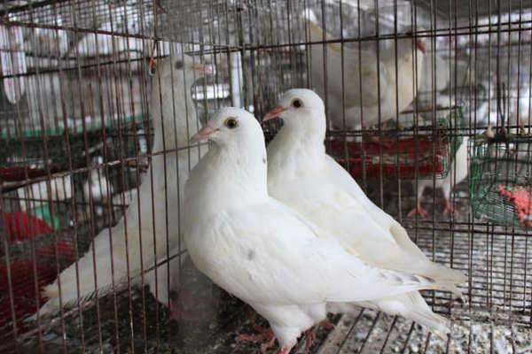 Phòng bệnh đúng cách để chim bồ câu Pháp có thể phát triển tốt