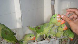 Cách nuôi chim két