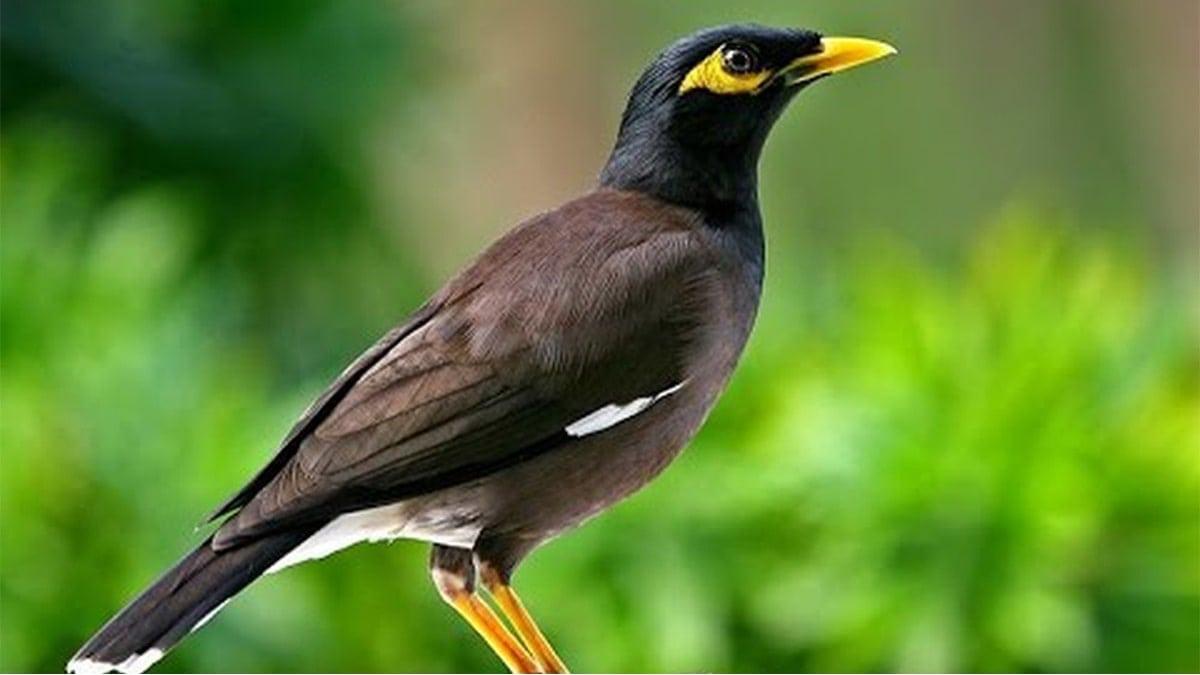 Cách nuôi chim sáo