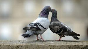 Cách phân biệt chim bồ câu