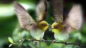 Cách phân biệt chim vành khuyên trống mái