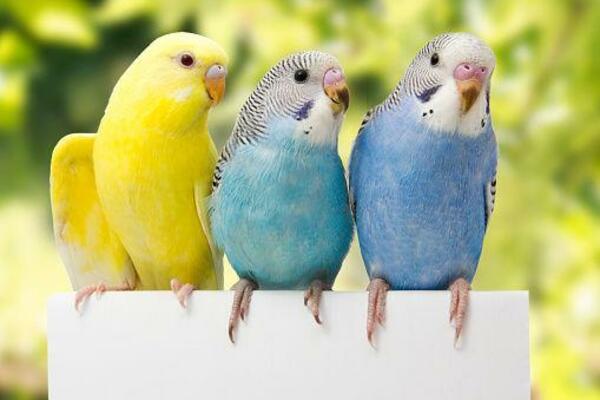 gia ban chim ket 2