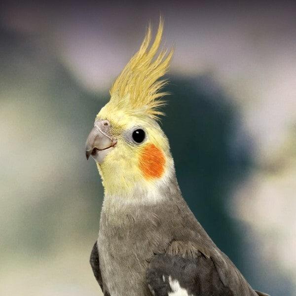 gia ban chim ket 3