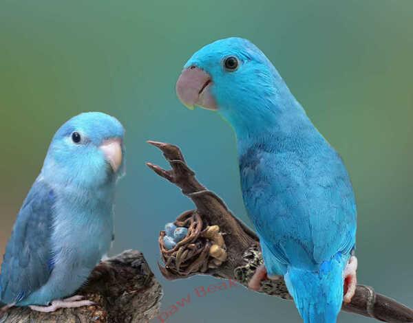 gia ban chim ket 4