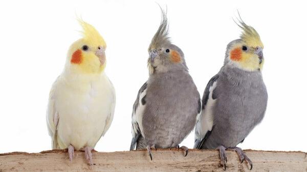gia ban chim ket