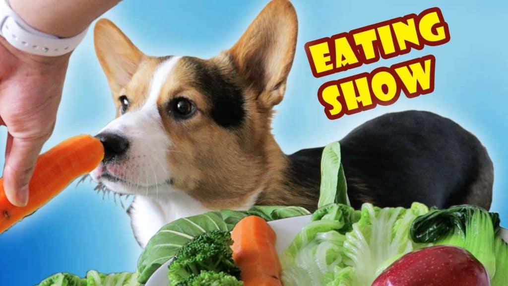 Bí mật về chế độ dinh dưỡng và thức ăn cho chó corgi giúp tránh béo phì