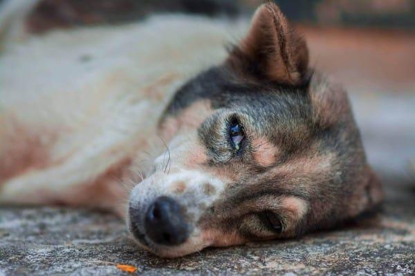 nguyên nhân bệnh đau mắt ở chó