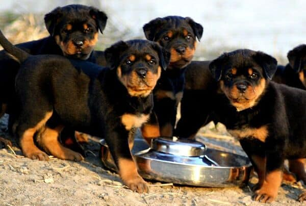 Chó Rottweiler con ăn gì để đảm bảo cung cấp đầy đủ chất dinh dưỡng