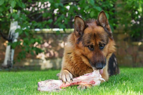 Để chó Becgie phát triển toàn diện thì cần có chế độ dinh dưỡng phù hợp với lứa tuổi