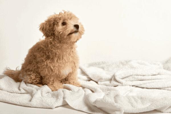Gợi ý chọn sữa tắm cho chó Poodle và những điều cần biết