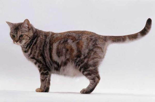 Khi mang thai, lưng mèo sẽ hơi cong và bụng phình to giống hệt người mang thai