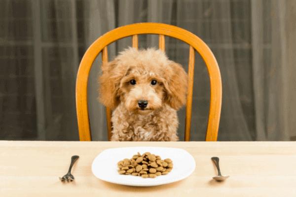 Thức ăn cho chó Poodle 2 - 3 tháng tuổi cần dễ tiêu hóa