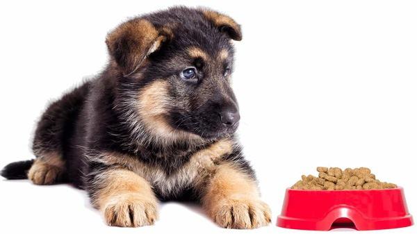 Chọn thức ăn cho chó Becgie ăn dặm đủ dinh dưỡng, phù hợp với giai đoạn lứa tuổi