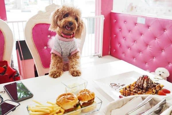 Không nên chó Poodle ăn đồ ngọt