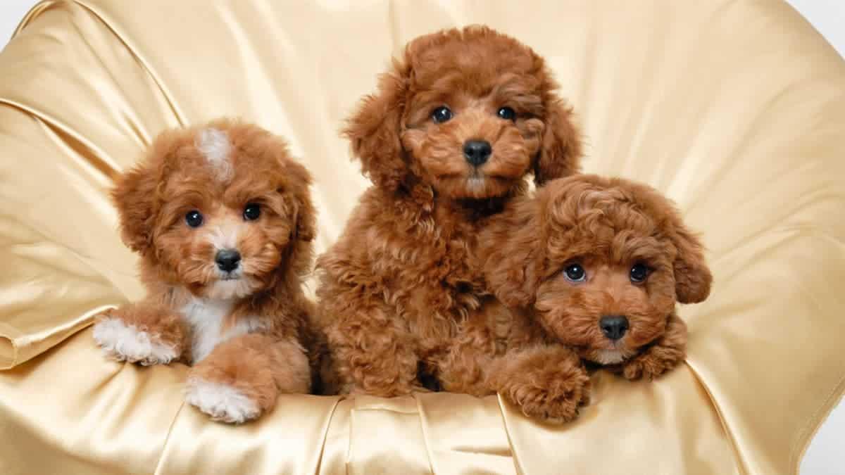 Chọn thức ăn cho chó Poodle phù hợp với từng lứa tuổi - Petmaster