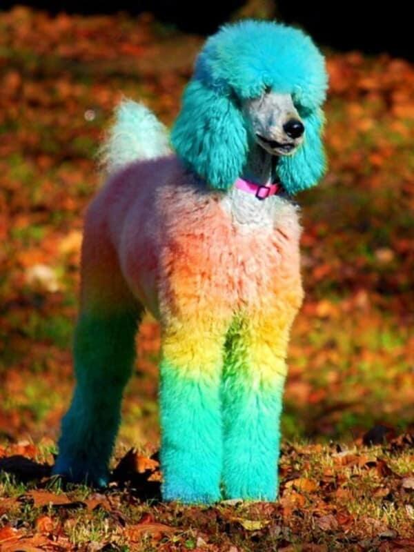 Thuốc nhuộm lông cho chó