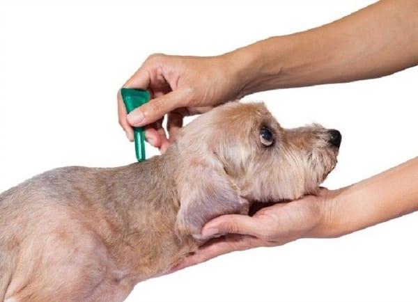 Thuốc trị ve chó dạng nhỏ gáy